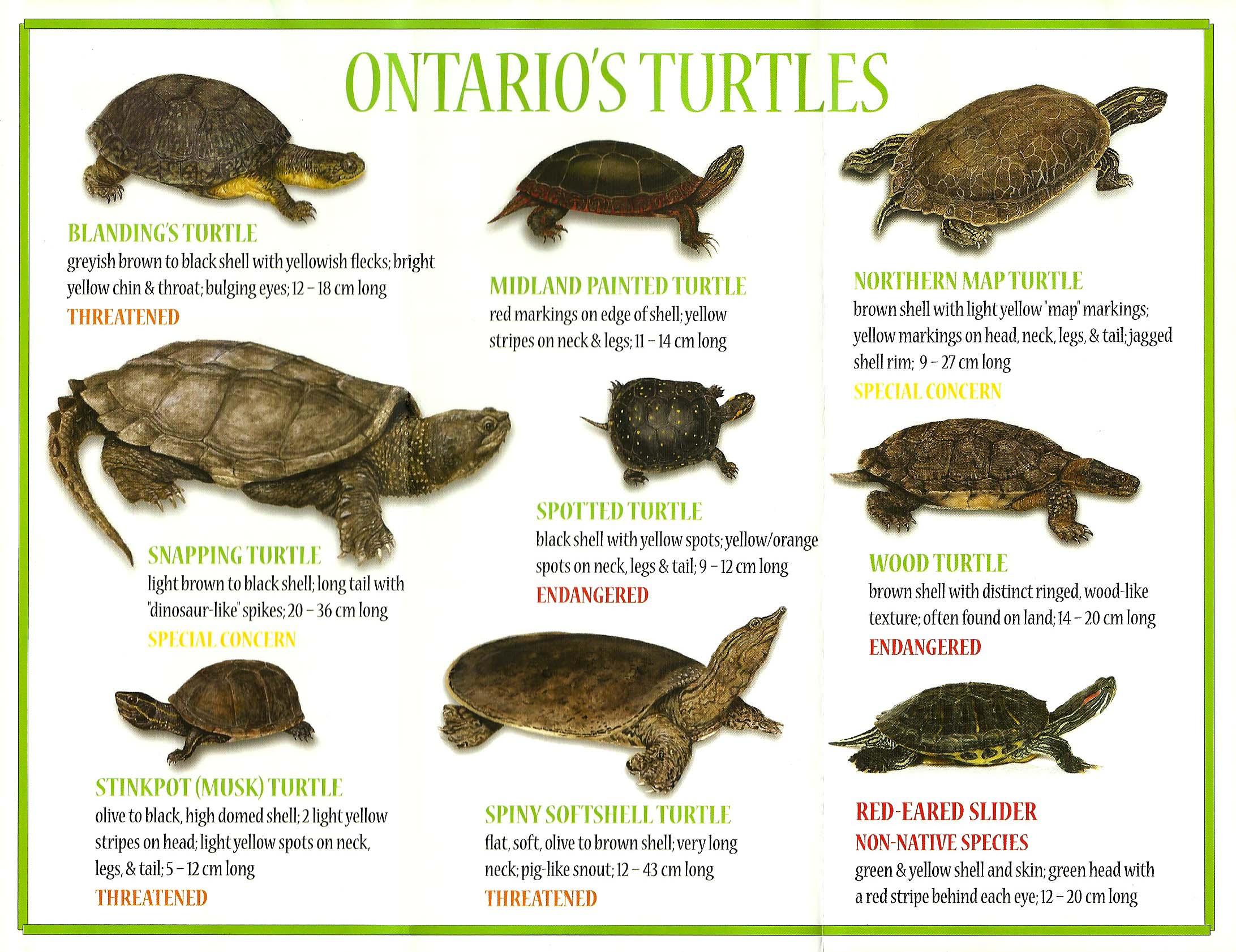 Ontario's turtle species! | Ontario Wildlife | Pinterest