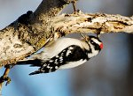 13 downy_woodpecker_glamour