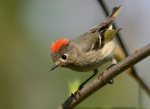 16 ruby-crowned_kinglet_glamor