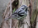 21 black_and_white_warbler_glamor