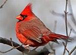 23 northern_cardinal_glamour