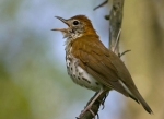27 wood_thrush_glamor