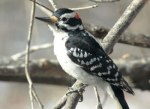 32 hairy_woodpecker_glamor