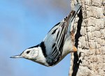34 white_breasted_nuthatch_glamour1