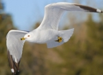 35 ring_billed_gull_glamor