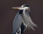 37 great_blue_heron_glamor