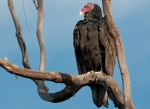 40 turkey_vulture_glamor