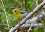 47 yellow_throated_vireo