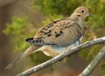 6 mourning_dove_glamor